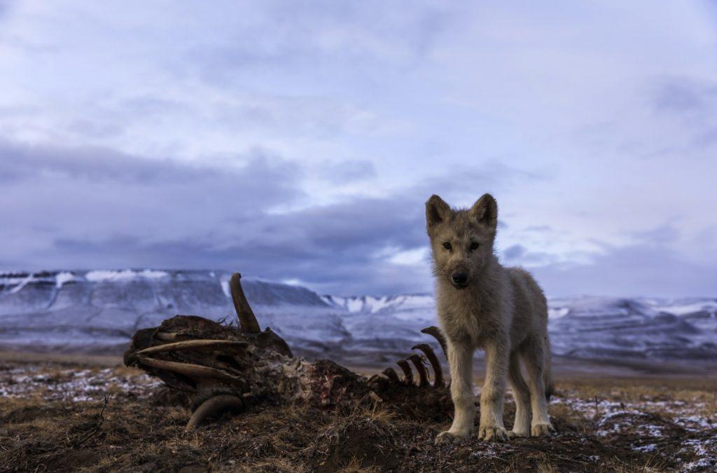 Foto de En noviembre National Geographic Wild estrena LA LEYENDA DEL LOBO BLANCO